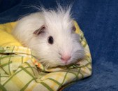 Snowy, a Rescued Guinea Pig