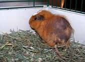 Rosie: A Rescued Guinea Pig