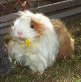 Miscellaneous: Guinea Pig Fun