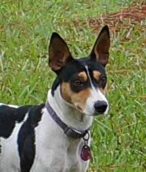 Timberlane Rat Terrier Females