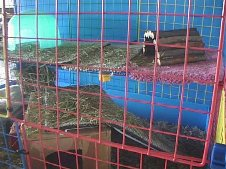 Cavy Cages - Ramps
