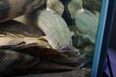 Polypterus Bichir Bichir