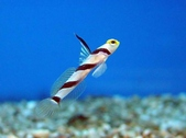 Blenny and Goby
