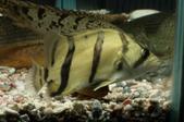 Datonoid (Siamese Tiger)