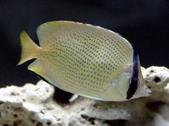 Chaetodon Capistratus