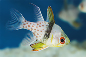 CardinalfishHawkfish