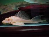 Albino Pleco