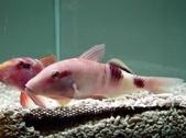 Bicolor goatfish 鬚哥