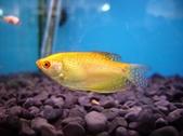 Trichogaster trichopterus var