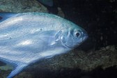Trachinotus baillonii