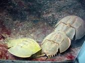 Limulus polyphemus