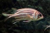 SquirrelfishSoldierfish