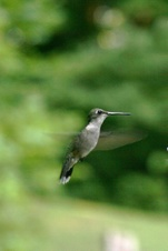 Public Gallery Photo Of the Day -- Sarah's Hummers