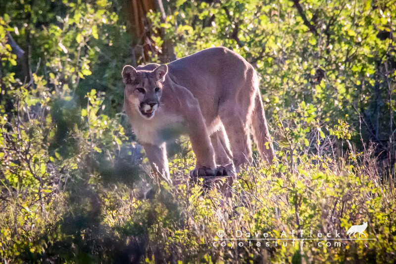 Mountain lion in the wild, posing nicely for picture