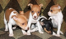 CAL VAL PUPPIES  - POPPY / CH TAG