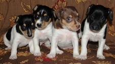 NEW CAL VAL PUPPIES - CHTAG GRCH  KOALA