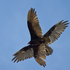 Big birds of Pinnacles Park
