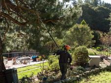 Pine pruning, 12-26-19