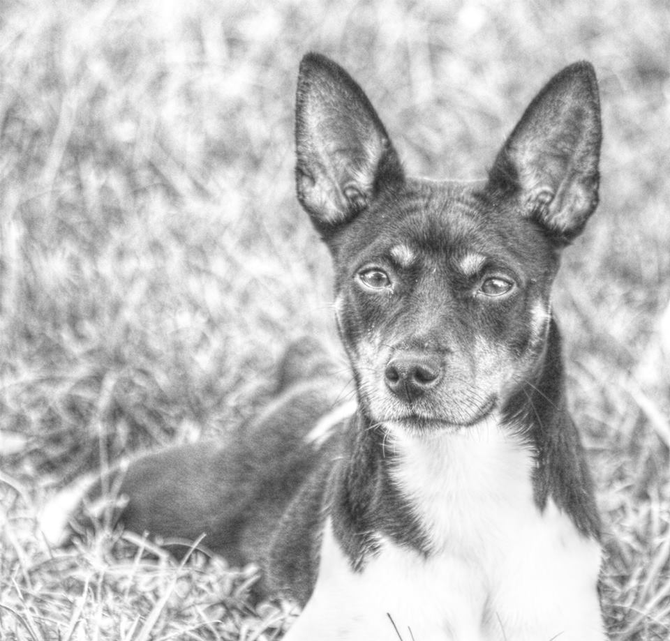 akc rat terrier rat terrier club of america rat terrier akc breed standard 4450