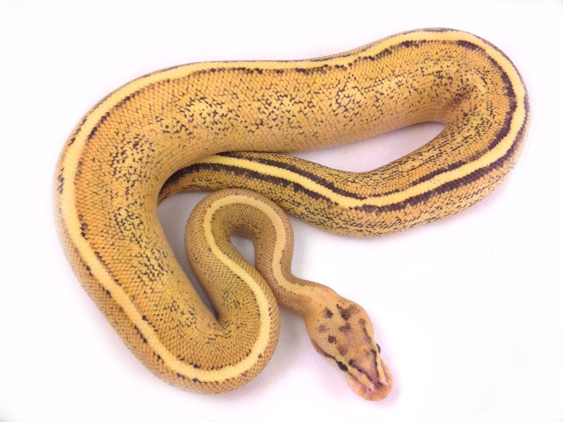 Photo 2402 of 2571, Ball Pythons Morphs Pictures Gallery
