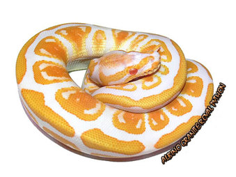 Ball Pythons Morphs Pictures Gallery