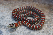Tarahumara Mountain Kingsnake