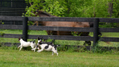 Rat Terrier ADULTS for Adoption