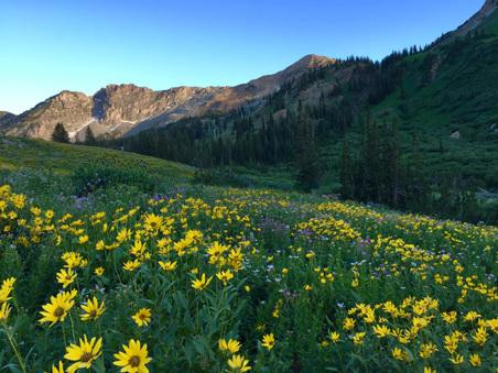 Utah Wildflowers - Albion Basin