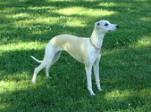 OUR PAST - WHIPPETS