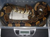 Ball Python Collection- For Sale