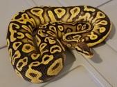 Ball Pythons available