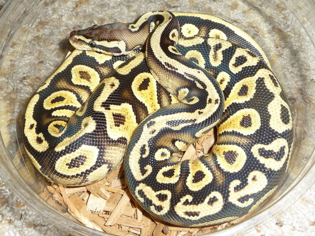 Ball Pythons available