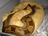 Boas Breeding- 07/08