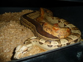 IMG VPI Sunglow breeding