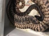 Black Headed Pythons
