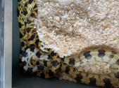 Durango Mountain Pine Snake